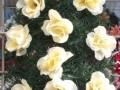 Coroana din brad artificial mic cu trandafir alb 12 buc
