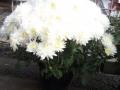 Crisantena alb ghiveci mic 2
