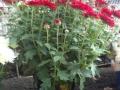 Crisantena rosu ghiveci  mic 2