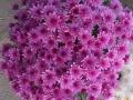 Crisantena roz ghiveci  mare