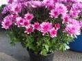 Crisantena roz ghiveci mic