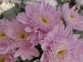 Crisantene roz