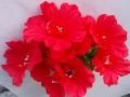 Gerbera rosu