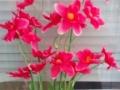 Liliac rosu