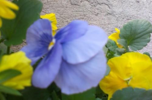Panseluta albastru deschis