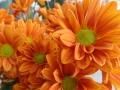 Crisantena portocalie