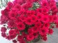 Crisantena rosu ghiveci  mare