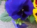 Panseluta albastru inchis