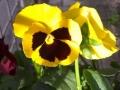 Panseluta galben cu visinie 2